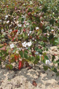 Cotton Field of South Carolina