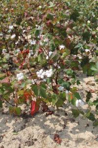Cotton Field of South Carolina