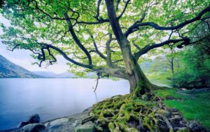 Oak Tree - Our Roots Run Deep